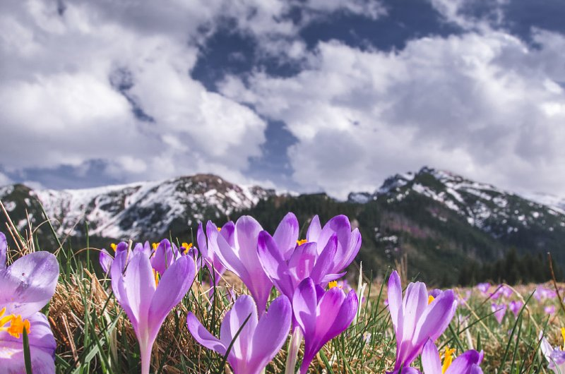 Crocuses flowers, Tatry